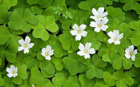 clover plant penn state extension philadelphia master gardeners phony shamrocks and fake four leaf clovers