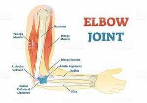 Elbow Joint Vector Illustrated Diagram Medical Scheme