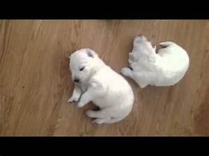 Bébé Loup Blanc : b b berger blanc suisse youtube ~ Farleysfitness.com Idées de Décoration