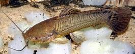 Callichthys callichthys - Wikispecies