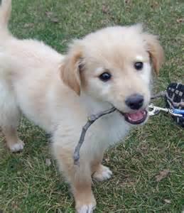 Golden Retriever Lab Mix Puppy