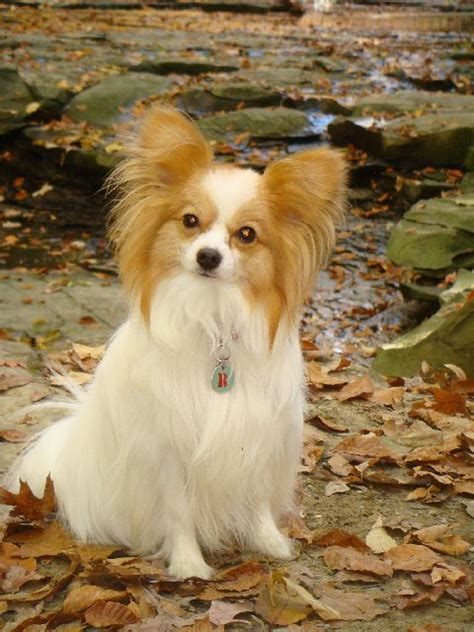Papillon  Ee  Dog Ee