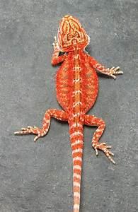 Red bearded dragon | Bearded Dragon Pet | Pinterest | Red ...