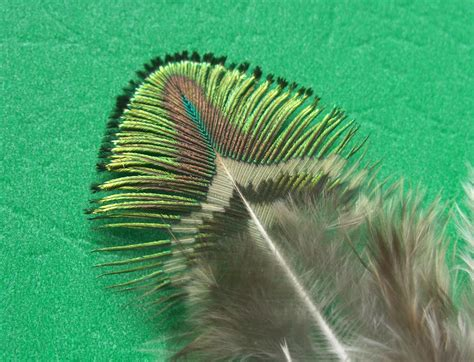 fly tying peacock feathers