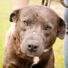 images  rescue dogs  pinterest labrador