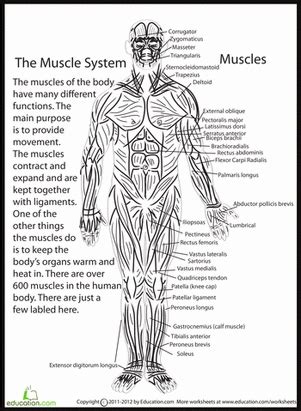 human anatomy muscles science funness human