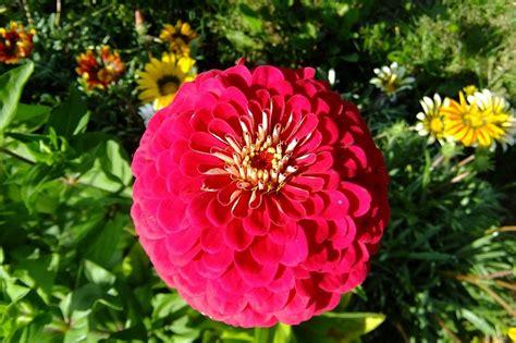 coltivare fiori coltivare le zinnie in vaso per avere fiori da giugno a