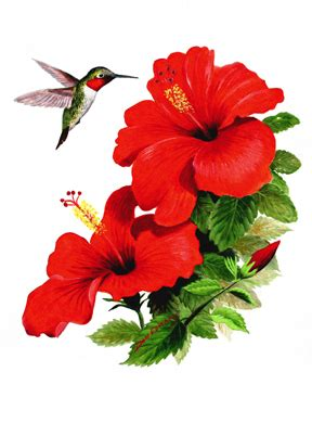 drawn hibiscus red hibiscus flower pencil   color