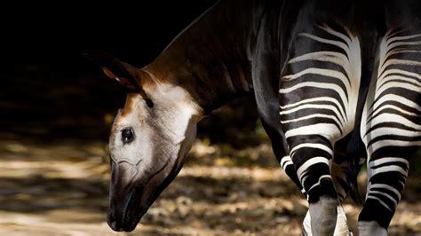 okapi san diego zoo animals plants