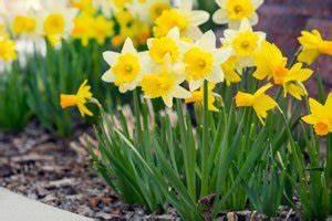 Wann Blühen Narzissen : narzissen umpflanzen so gedeihen sie auch am neuen standort pr chtig ~ Eleganceandgraceweddings.com Haus und Dekorationen