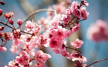 Spring Blossoms Tree Flowers Bloom Pink 1080p