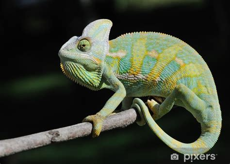 kameleon jemenski jemen chameleon yemen chameleon wall