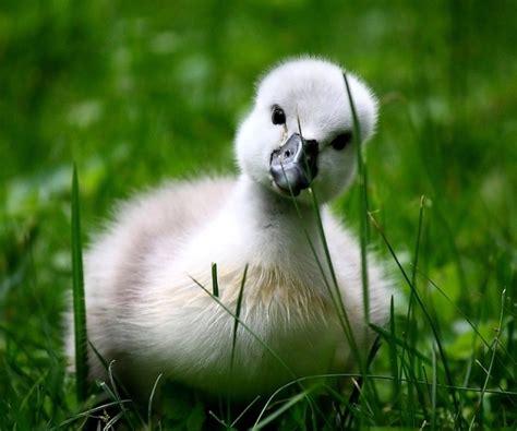 Baby Swan  Teh Cute