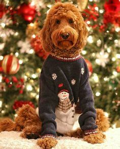 labradoodle christmas jumper my 3rd birthday is in 4 days here s a throwback from last year trying to decide what to wish