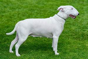 English Bull Terrier Dog Breed Information, Buying Advice ...