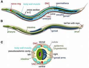 C  Elegans Anatomy  Major Anatomical Features Of A Hermaphrodite  A