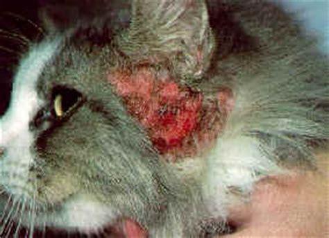 examining  medicating  ears   cat