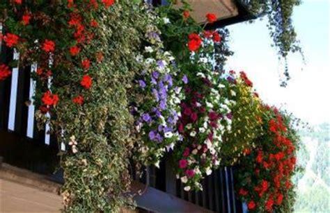 terrazzi in fiore 10 trucchi per migliorare la fioritura dei gerani verdeblog