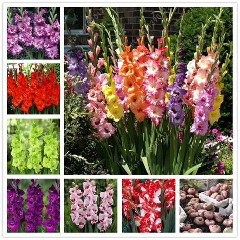true gladiolus bulbs gladiolus flower gladiolus seed