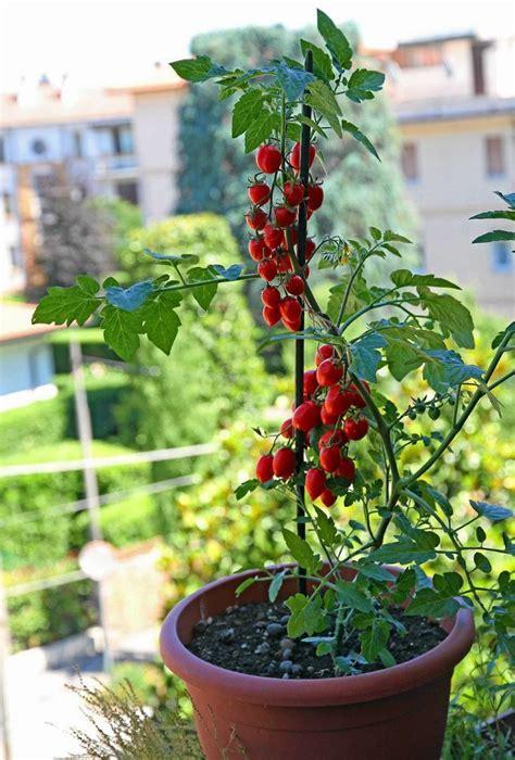 vaso per pomodori come creare un orto sul balcone soluzioni fai da te