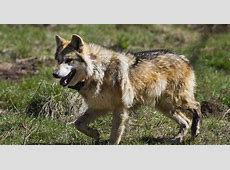 What if there were no Mexican gray wolves in Arizona?