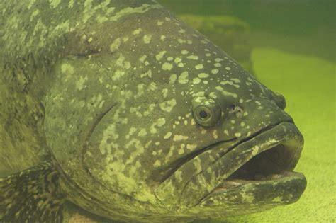 grouper goliath fish eating gordon florida safer twice ordering bad think fishing file juvenile commons wikipedia sonar epinephelus itajara atlantic