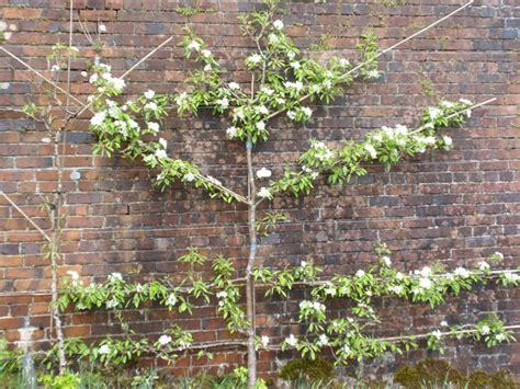 espalier apple trees how to grow espalier fruit trees