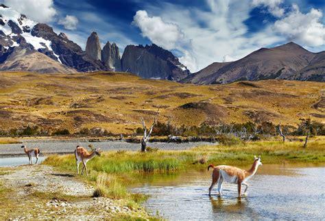 Patagonia Chile Llamas Alpacas Vicuñas And Guanacos