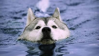 Swimming Husky Water Huskies Animals Dogs Siberian