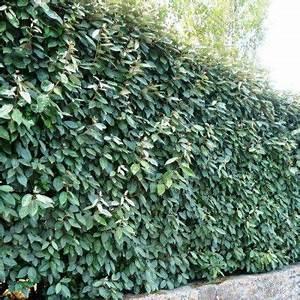 Arbuste Persistant Croissance Rapide : arbuste persistant croissance rapide pour haie ~ Premium-room.com Idées de Décoration