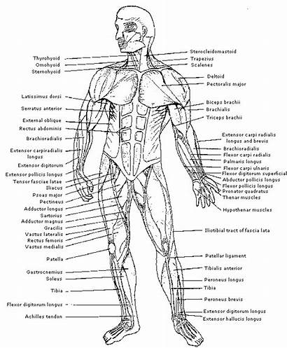 Human Muscles Anatomy Diagram Coloring Organs Muscle