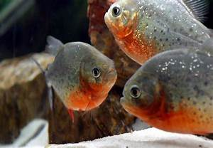 Raising the Red Belly Piranha with large forum and pictures