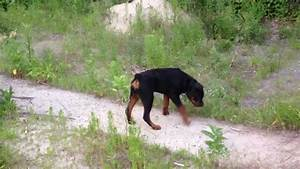 6 month old rottweiler puppy. - YouTube