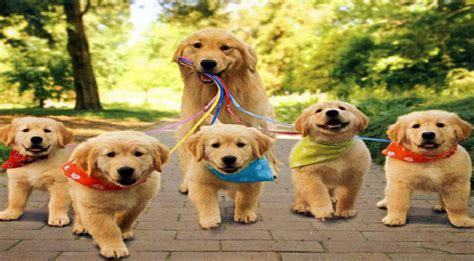 facts about golden retriever dogs golden retriever puppies information assistedlivingcares