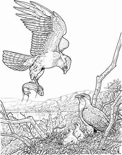 Eagle Coloring Pages Fish Bald Sheets Catch