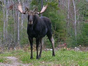 moose pictures | took this photo of a Bull Moose a few ...