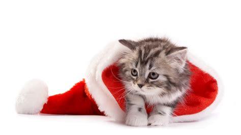 wallpaper santa hat cute kitten hd  celebrations