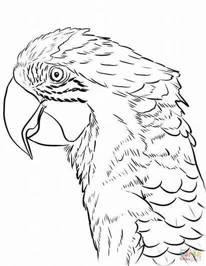Macaw Coloring Ara Arara Colorir Printable Head