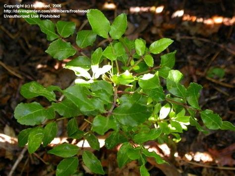 Plantfiles Pictures Prickly Ash Tickle Tongue Tree