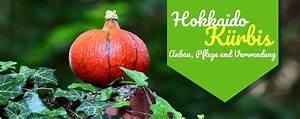 Hokkaido Kürbis Anbau Triebe Kürzen : anleitung zum anbau von hokkaidos so geht 39 s ~ Yasmunasinghe.com Haus und Dekorationen