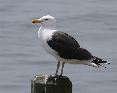 Great Blackbacked Gull Photos Birdspix