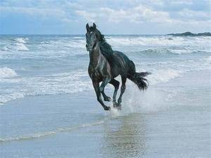 friesian in the water | running in water friesian horse ...