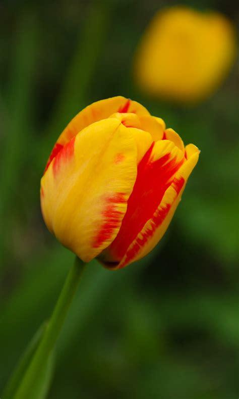 tulpe kostenloses handy hintergrundbild