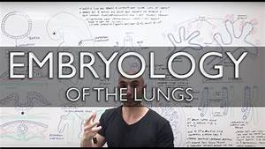 Embryology Of The Lungs  Easy To Understand