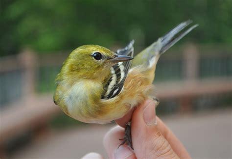 Warbler at Indiana Dunes State Park