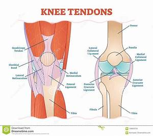 Knee Tendons Medical Vector Illustration Scheme