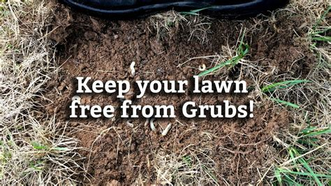 how do you get rid of grub worms controlling grubs in your lawn expert lawn care tips youtube