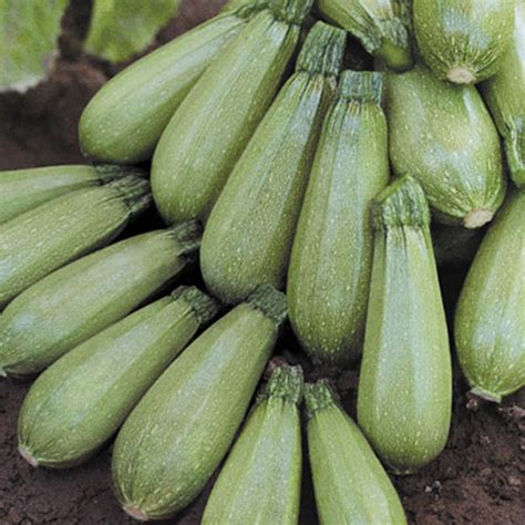 Light Green Squash by Mexican Grey Squash Better Produce