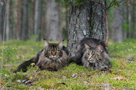 maine coon personality traits mainecoon companion