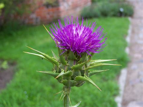 Related Keywords Suggestions For Milk Thistle